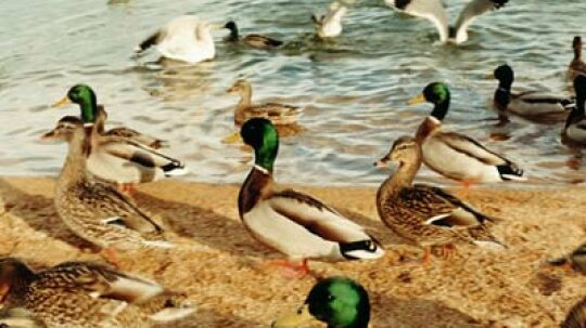 How Ducks Unlimited Works