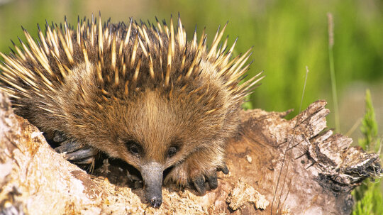 The Echidna Is One of the World's Strangest Mammals