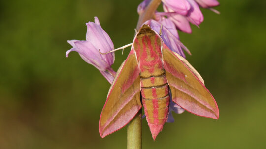 The Elephant Hawk Moth Is the 'Ugly Duckling' of Moths
