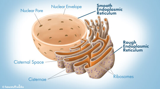 What Does the Endoplasmic Reticulum Do?