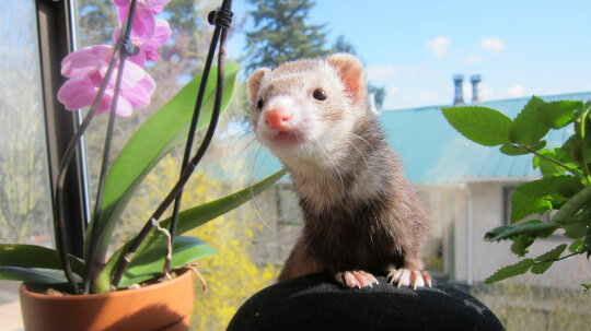 Ferrets Are Mischievous, Loyal, Affectionate Pets