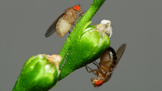 Why Flies Prefer Honey to Vinegar