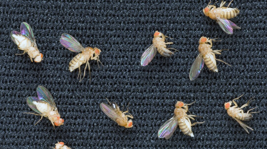 Why Fruit Flies Were the First Animals in Space