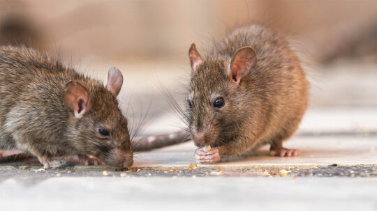 How to Get Rid of Rats