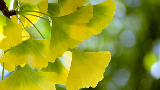 Gingko Biloba Leaves Help Track Climate Change