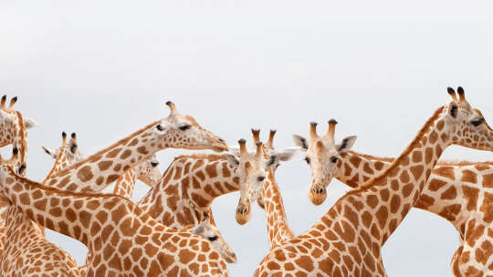 If a giraffe's neck only has seven vertebrae, how is it so flexible?