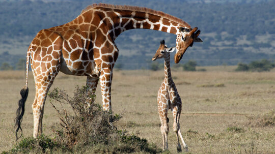 Baby Giraffes Get Their Spots From Mom