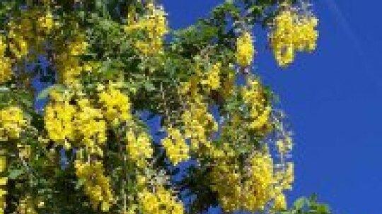 Golden-chain Tree