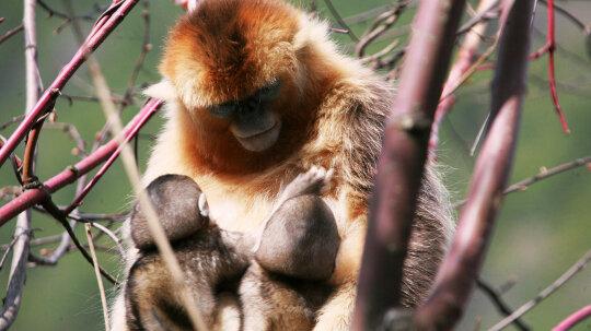 Golden Snub-nosed Monkeys Share Nursing of Young