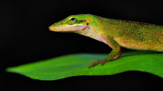 Surprisingly Swift Evolution Observed in Lizard Species