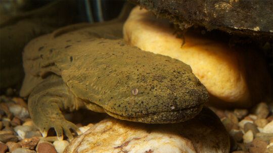 The Huge Hellbender Salamander, or 'Snot Otter,' Needs Our Help