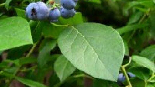 Herbal Remedies for Diabetes
