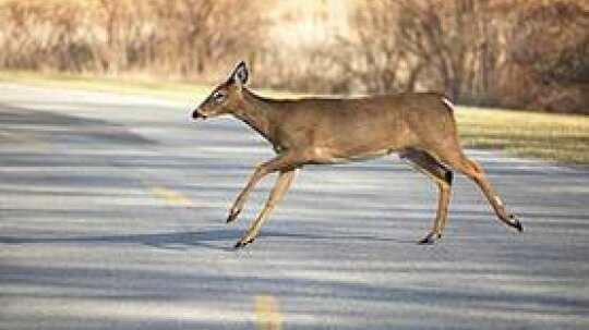 What to Do if You Hit a Deer With Your Car