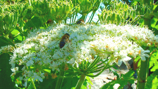 Giant Hogweed's Sap Can Give You Sunburn