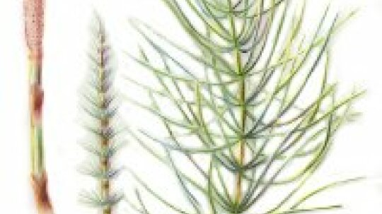 Horsetail: Herbal Remedies