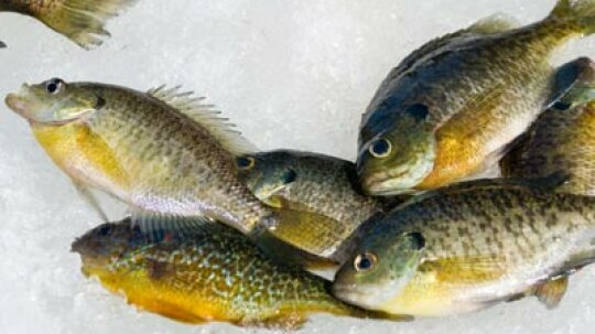 How to Clean Panfish