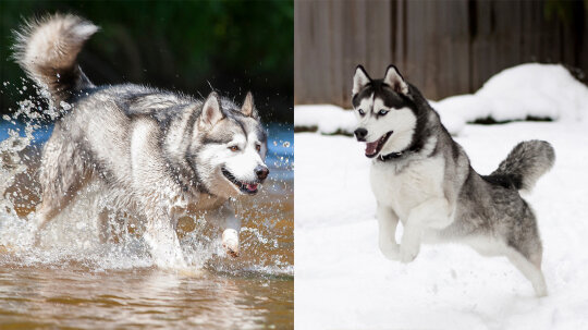 What's the Difference Between an Alaskan Malamute and a Husky?