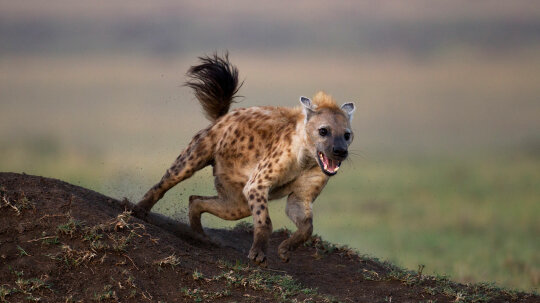 Why Do Spotted Hyenas Laugh?