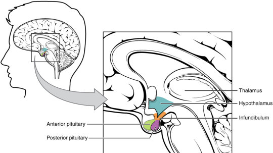 Feeling Hungry? Tired? Moody? Thank Your Hypothalamus