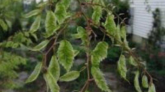 Japanese Zelkova Tree