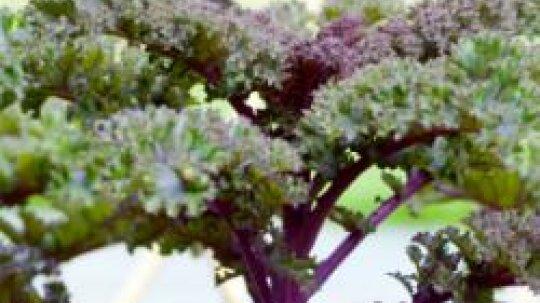 Kale: Natural Weight-Loss Food