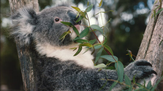 Do koalas smell like cough drops?