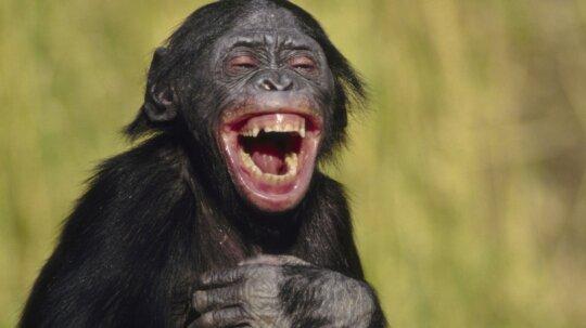 Do animals laugh?