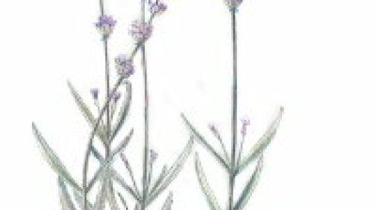 Lavender: Herbal Remedies
