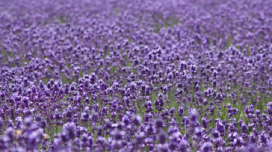 Can lavender treat skin problems?
