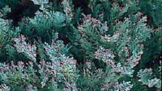 Lawson Cypress Tree