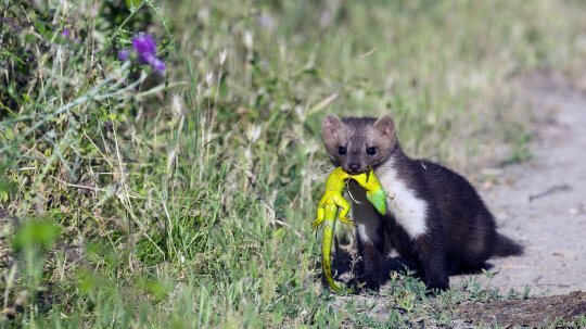 How Did Weasels Get Such a Bad Rap?