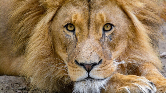 Lions: 5 Roaring Facts About the King of the Beasts