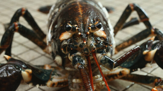 10 Weird Facts About Lobsters
