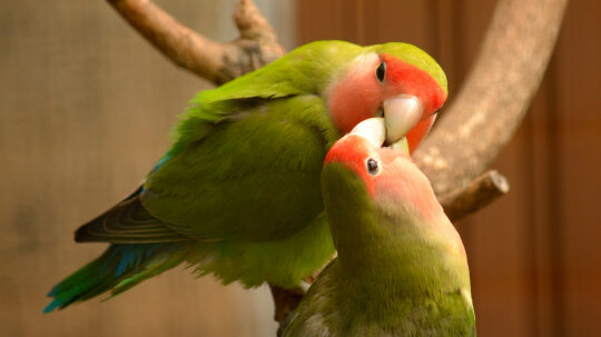 7 Lovely Facts About Lovebirds