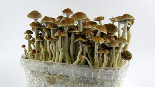 How Magic Mushrooms Work