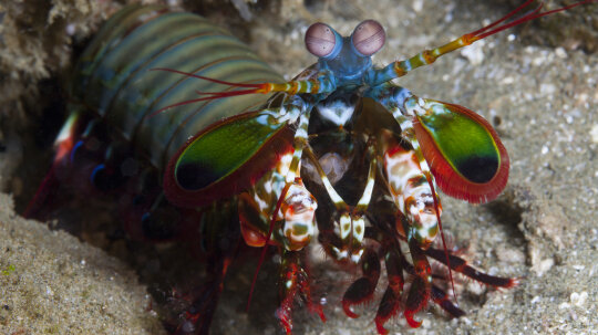The Amazing Mantis Shrimp Punches Its Prey, Plus More Colorful Facts