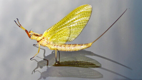 The Ancient Mayfly Briefly Lives Only to Reproduce and Die