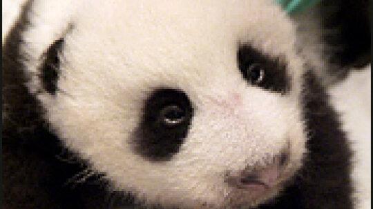 Meet Tai Shan  Baby Panda  The National Zoo