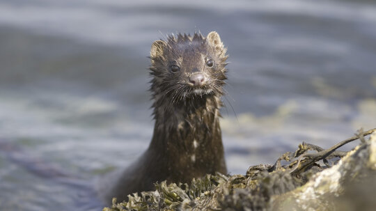 How Humans Have Made a Mess of Mink