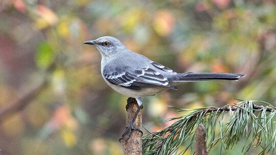 Why Mockingbirds Mock