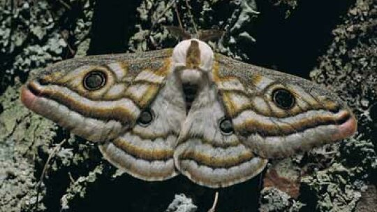 Why are moths attracted to light?