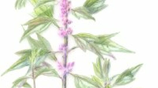 Motherwort: Herbal Remedies