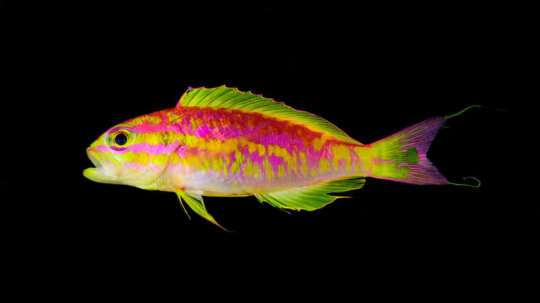 Researchers Stunned by Gorgeous New Fish Find