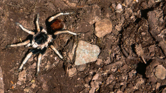 Several New Species of Tarantula Found High in the Andes