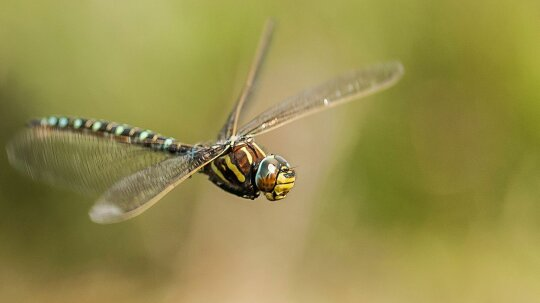 Female Dragonflies Fake Death to Avoid Unwanted Male Advances