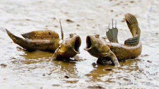 Mudskipper Robot Helps Show How Vertebrates Evolved to Walk on Land