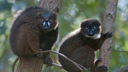 Wild Lemurs Get Their Own Facial Recognition Software