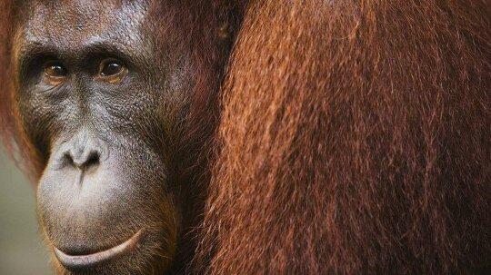 Anatomy of an Orangutan Murder