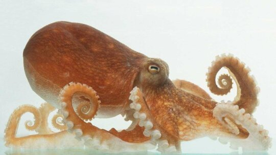 Can't Open That Childproof Bottle? Ask an Amazing Octopus