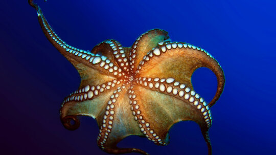 How Octopuses Work